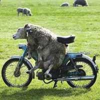 Mouton à moto sans casque